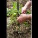 Weedy Green Garden Plant Tie